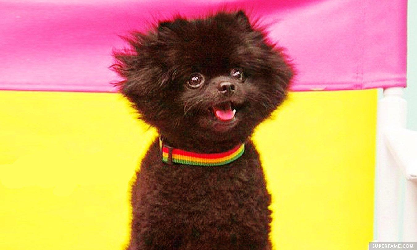 Barkley the Pom.