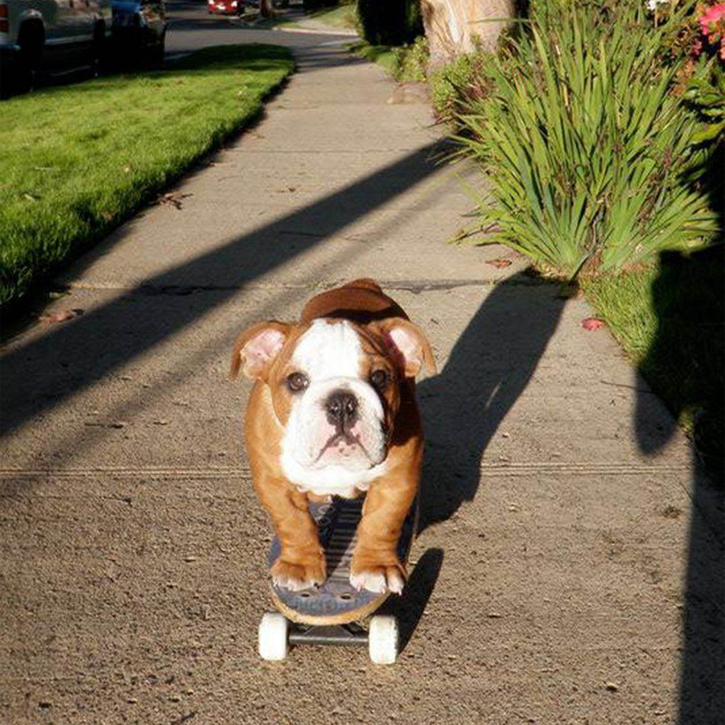 Tillman the dog on a skateboard.