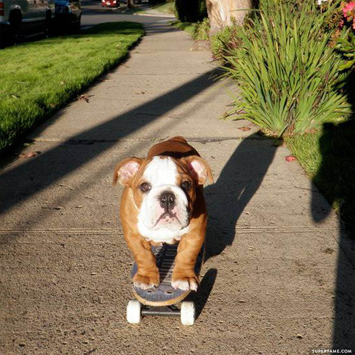 Tillman the dog on a skateboard.